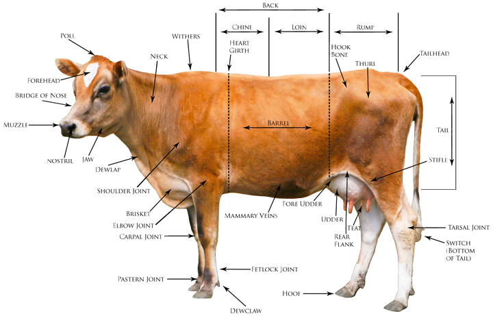Clipart of a smiling dairy cow k21113162 search clip art